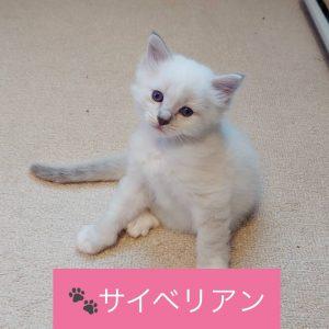 サイベリアン子猫